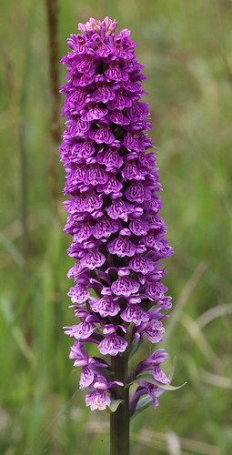 Northern March Orchid, Dactylorhiza purpurella ver. cambrensis