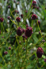 SANGUISORBA officinalis 'Red Buttons'