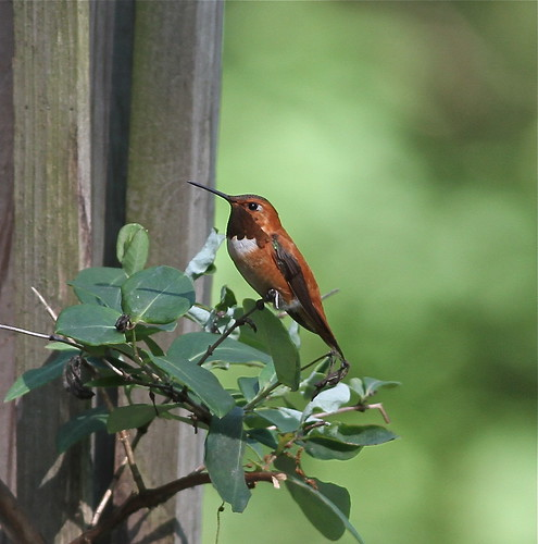 Rufous Hummingbird IMG_4199