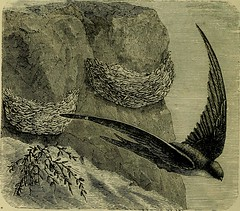 """Image from page 527 of """"Reptiles and birds : a popular account of their various orders, with a description of the habits and economy of the most interesting"""" (1883)"""