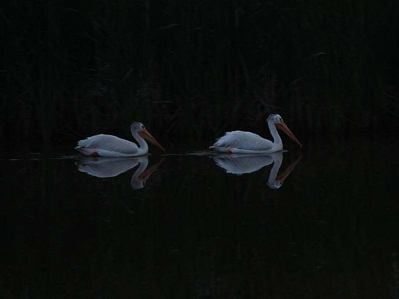 Фотография 'Американский белый пеликан'