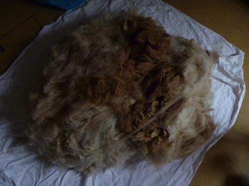 Pile of alpaca fleece