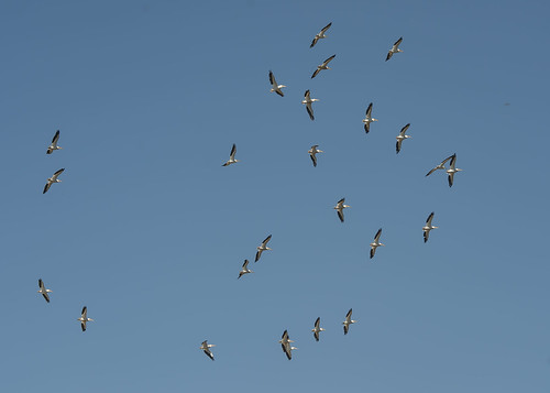White Pelicans - flying