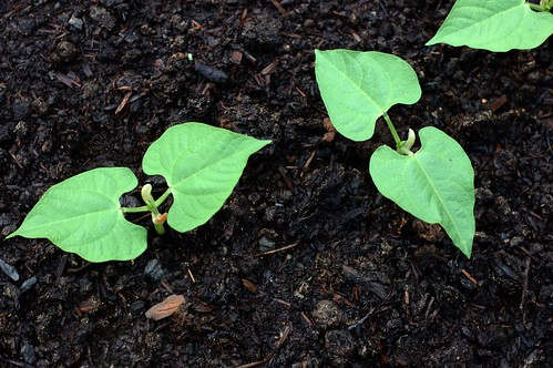 Bean seedlings by Eve Fox, the Garden of Eating copyright 2014