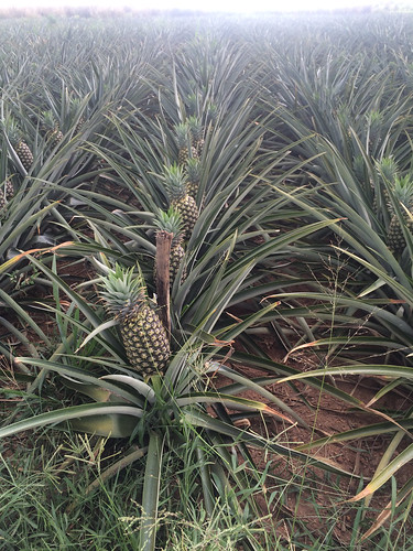 Pineapples are an iconic crop in Puerto Rico, and they're emerging again as a popular farming enterprise on the island.