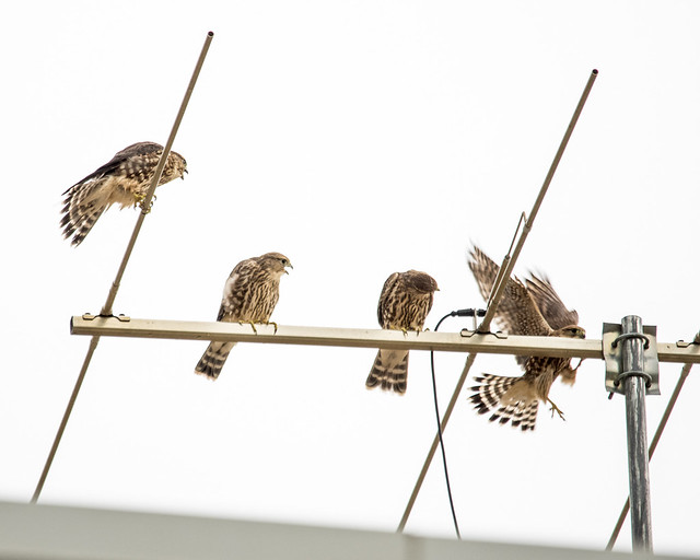Juvenile Swainson's Hawks