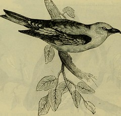 """Image from page 501 of """"Reptiles and birds : a popular account of their various orders, with a description of the habits and economy of the most interesting"""" (1883)"""