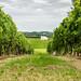 Vignes Bordelaises ©Paul Tridon