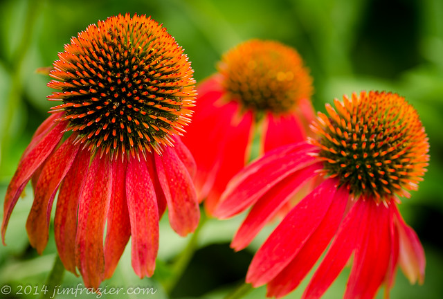 Red Coneflowers