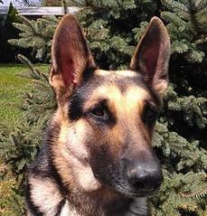 wolfdog(0.0), saarloos wolfdog(0.0), dog breed(1.0), german shepherd dog(1.0), animal(1.0), dog(1.0), czechoslovakian wolfdog(1.0), east siberian laika(1.0), tervuren(1.0), belgian shepherd malinois(1.0), east-european shepherd(1.0), shiloh shepherd dog(1.0), carnivoran(1.0),