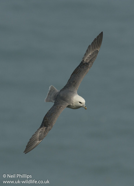 fulmar in flight-6