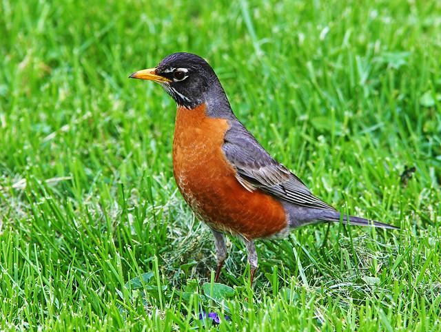 Robin IMG_5650