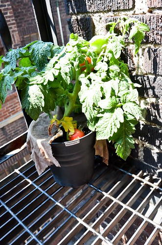 Fire escape tomato plant
