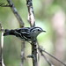 Paruline noir et blanc - Black and White Warbler (F)
