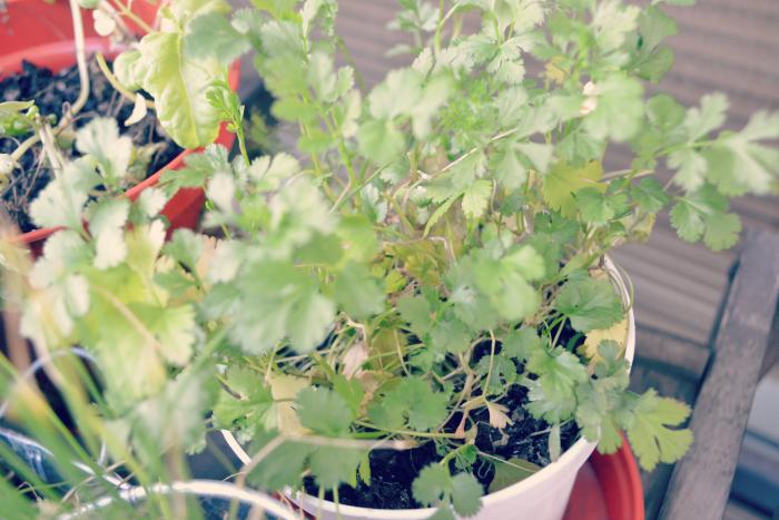 thyme urban balcony garden