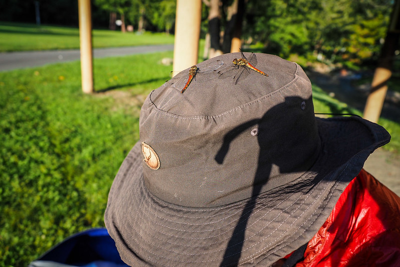 Friendly dragonflies at Hobetsu Campground, Hokkaido, Japan