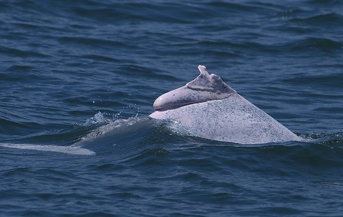 被漁網纏結後的癒合傷口。 照片來源: 鯨豚攝影者提供