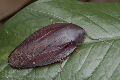 Jungle roach<i>Morphna dotata</i>IMG_3561 copy