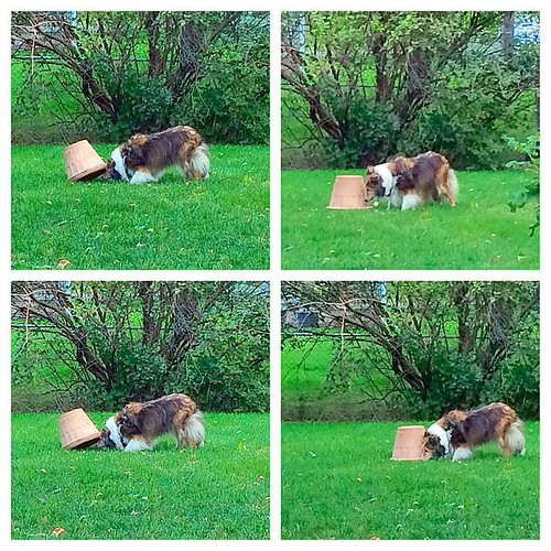 Maggie searches for treats and finds them! #picstitch #puppymilldog