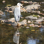 Herons reflection afon llugwy