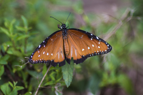nature butterfly insect photo nikon outdoor alabama picture queen danaus baldwincounty gilippus d3200