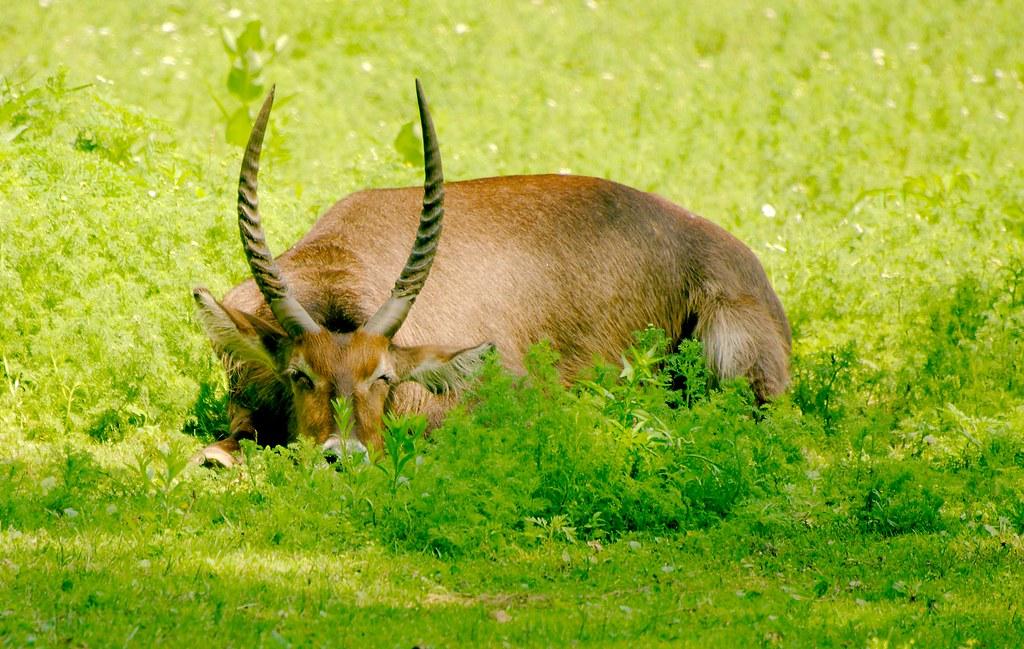 Waterbuck (Kobus ellipsiprymnus)_4