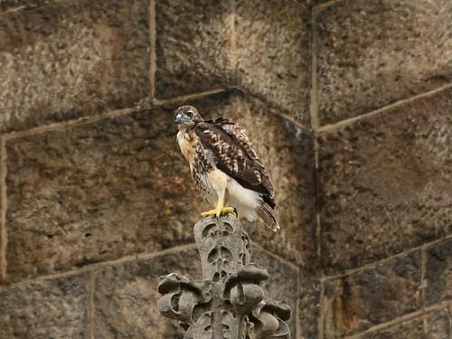 Cathedral Hawk Fledgling #3 (2349)