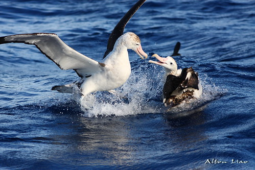 漂泊信天翁除了繁殖會上岸,終生以海為家。(圖片來源:農委會漁業署)