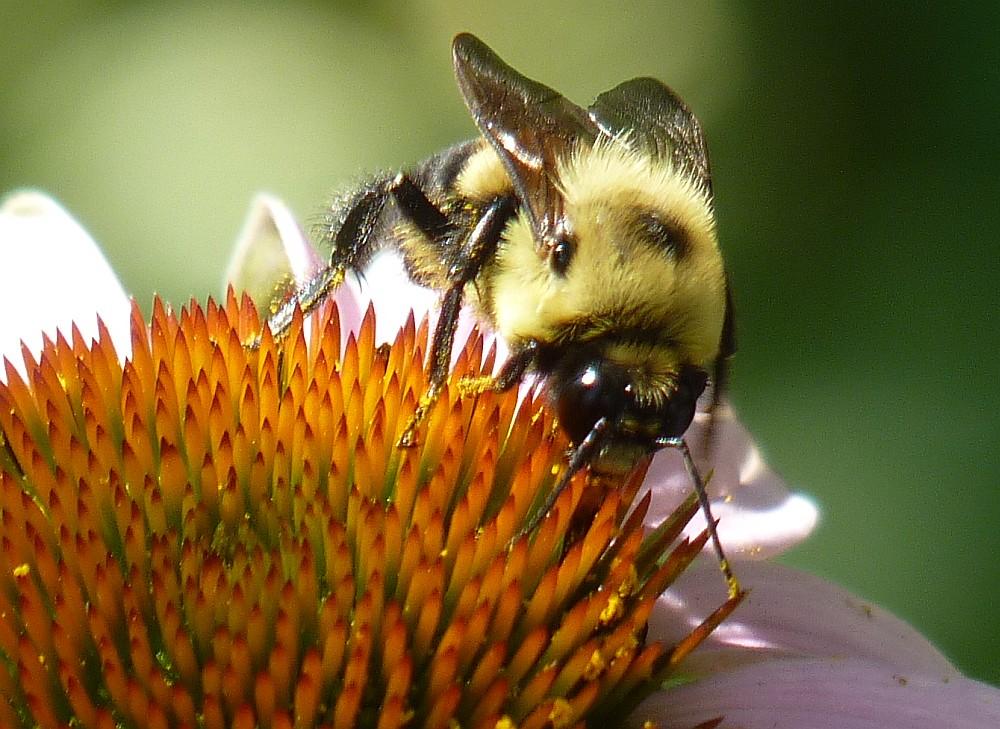 bumble bee echinacea (6)