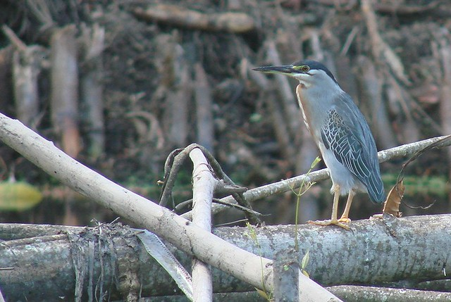 striated heron Guyana 2007 019