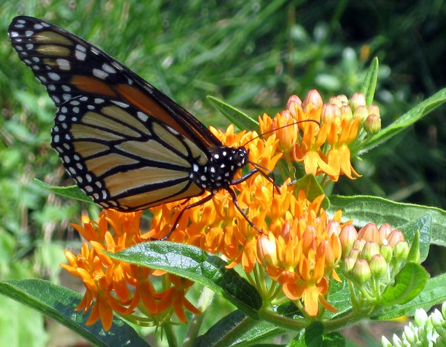 butterflyweed pollinator - monarch butterfly