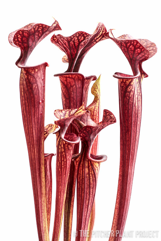 Sarracenia flava var. ornata x flava var. ornata, Bulloch Co., GA - Clone B