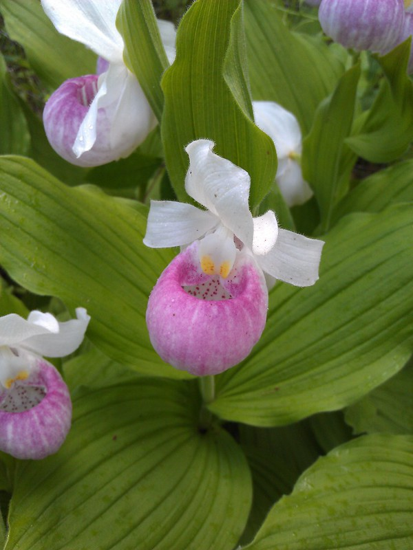one showy lady's slipper in focus with others nearby