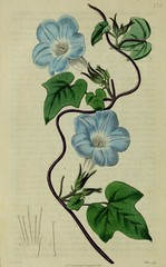 """Image from page 63 of """"The Botanical register consisting of coloured figures of"""" (1815)"""