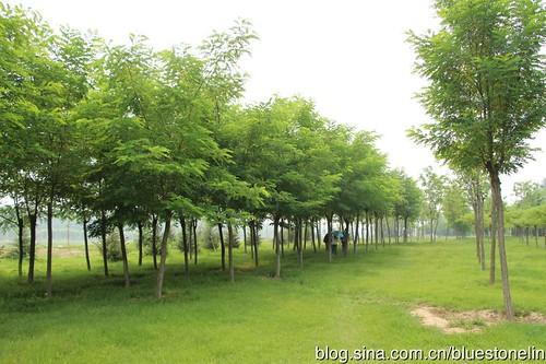 朝陽區金盞鄉皮村溫榆河畔綠化工程。(圖片來源:林吉洋)