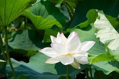 ipomoea alba(0.0), flower(1.0), plant(1.0), flora(1.0), sacred lotus(1.0), lotus(1.0), green(1.0), proteales(1.0), petal(1.0), aquatic plant(1.0),