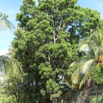 Swietenia macrophylla trees