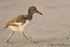 Morning Stroll (Juvenile Oystercatcher)