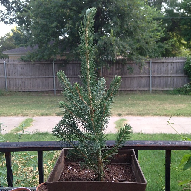 Bruce the blue spruce