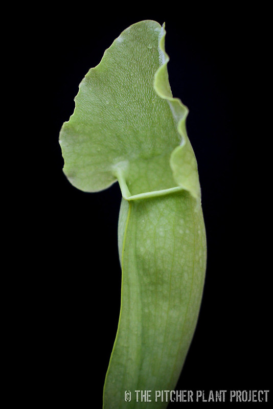 "Sarracenia purpurea heterophylla x ""Green Monster"""