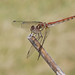 Darter dragonfly #6