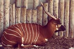 animal, antelope, mammal, horn, fauna, kudu, bongo,