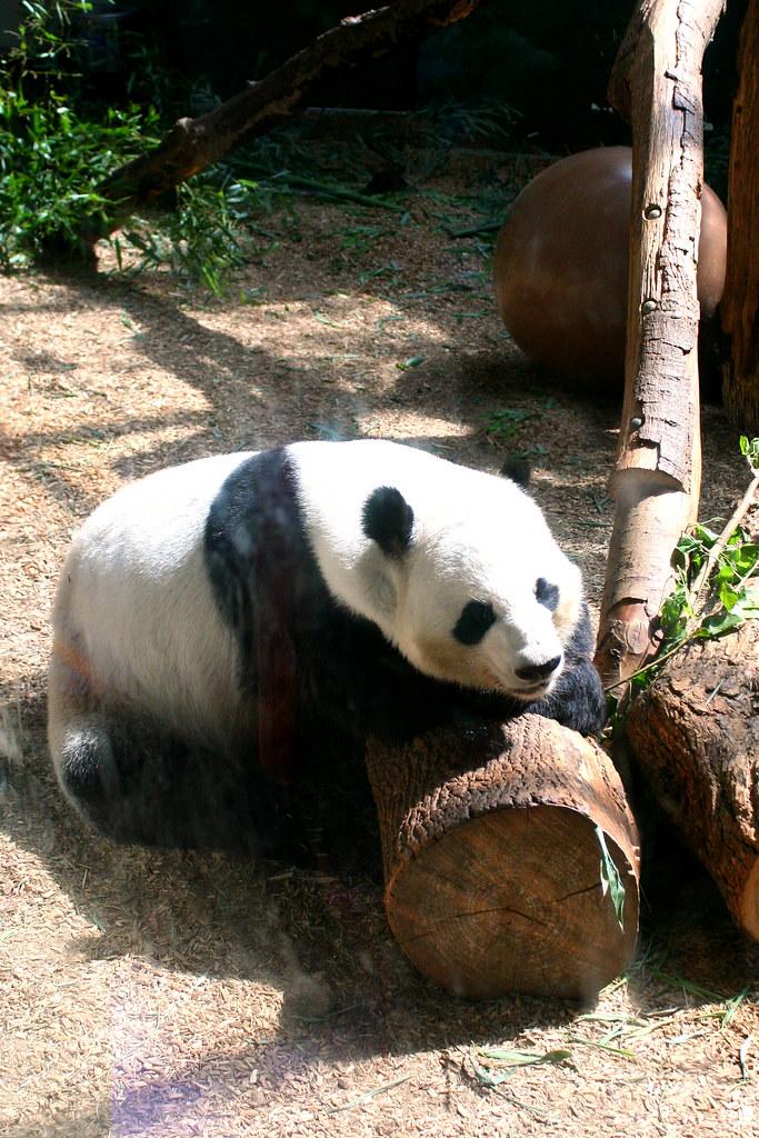 Panda in Zoo Atlanta