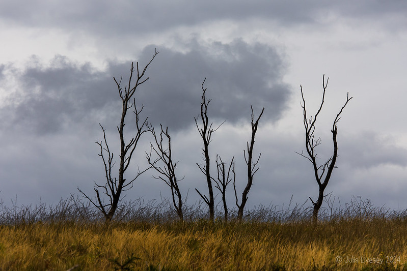 Burnt Birch Trees