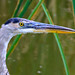 Wary blue heron