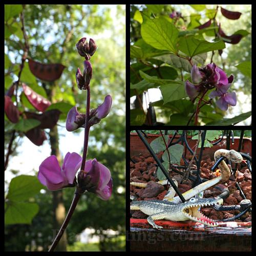 hyacinthbean