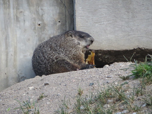 The Family of Groundhogs
