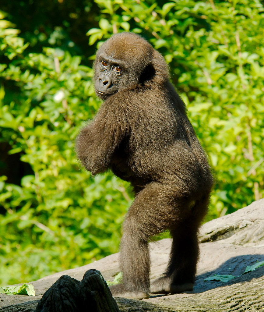 Gorilla_25