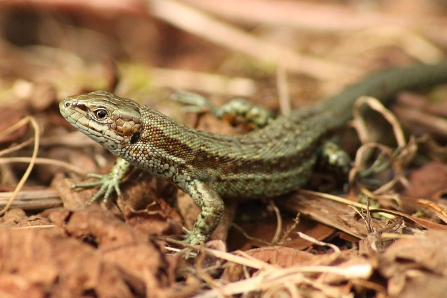 U S Lizard Flickriver: Pho...