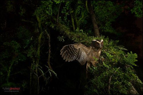 birds night forest wings costarica open action birding raptor nightime owl ambient sideview owls birdsofprey centralamerica buho rapace oneanimal cinchona fulllenght crestedowl lophostrixcristata leastconcern chrisjimenez rapacesdecostarica